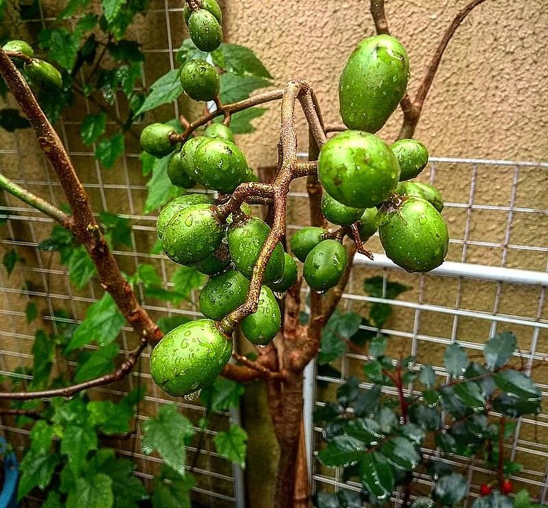 A cajazeira tem um tronco que pode alcançar até 30 m de altura, sendo a árvore mais alta do gênero Spondias