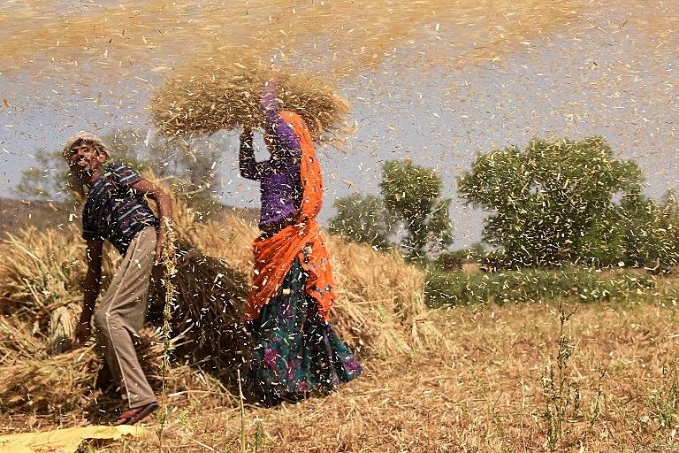 Uma mulher e um homem trabalham em uma plantação de trigo no Rajastão, maior estado da Índia