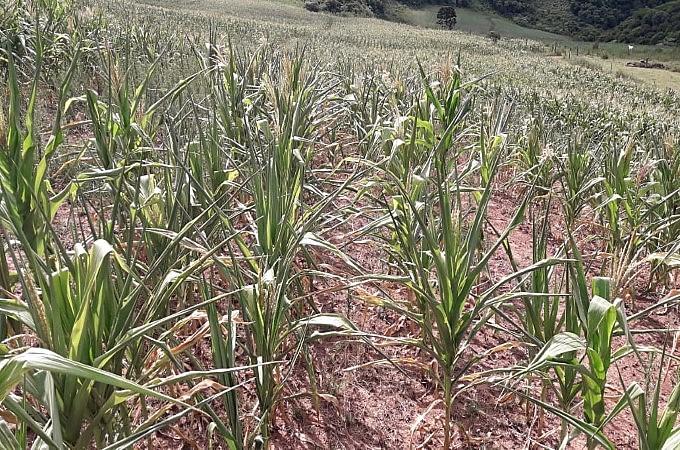Milho é uma das culturas mais afetadas pela estiagem prolongada que está se abatendo sobre o sul
