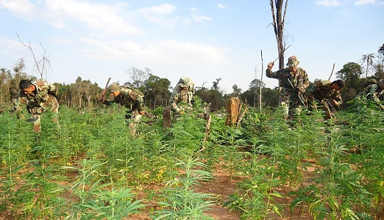 40 hectares de maconha, a 30km de onde ocorreu o massacre de Curuguaty