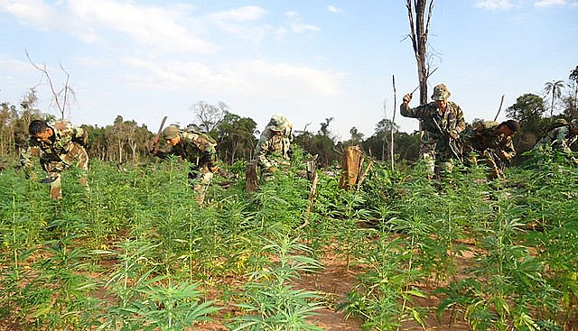 A 30km de donde aconteció la Masacre de Curuguaty, el nacotráfico posee tierras para el cultivo de cannabis