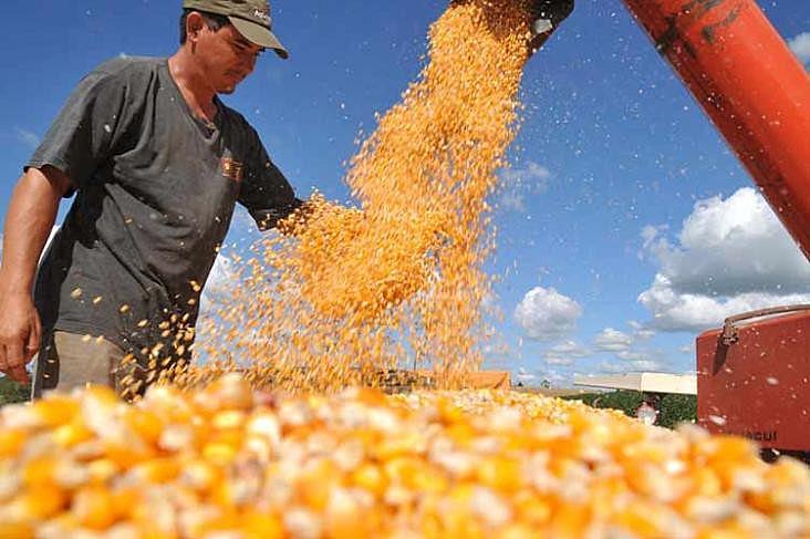 A previsão é que a safra de milho encolha 19% este ano