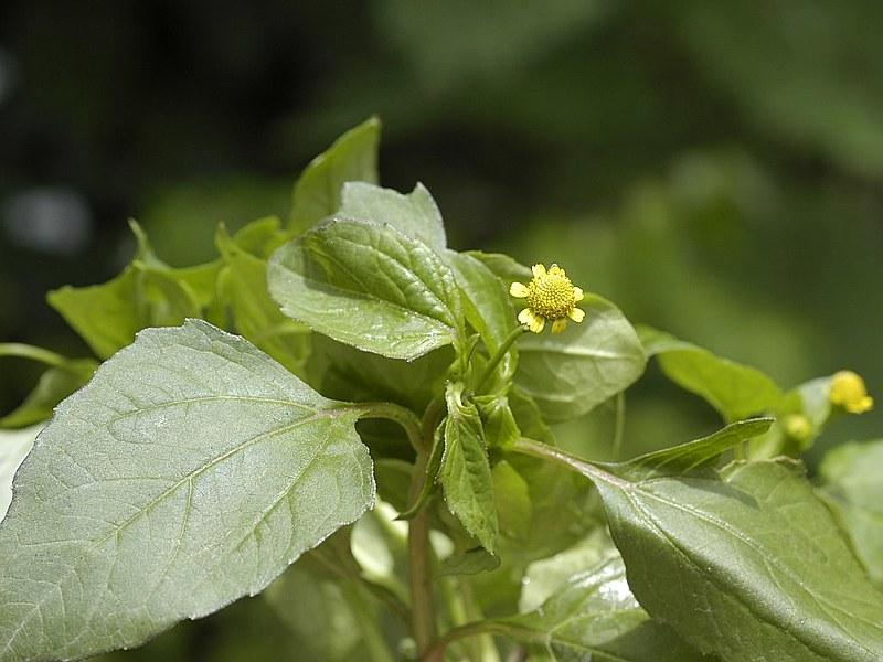 Galho florido de jambú (Acmella ciliata, Asteraceae)