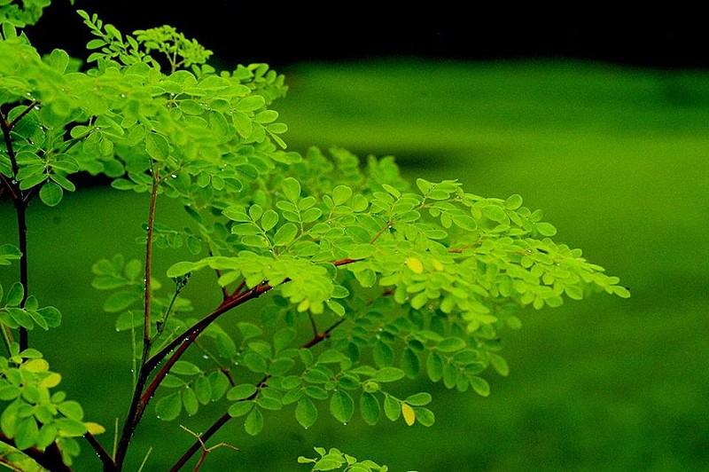 Assentados do MST cultivam e comercializam planta medicinal, rica em nutrientes e que purifica a água