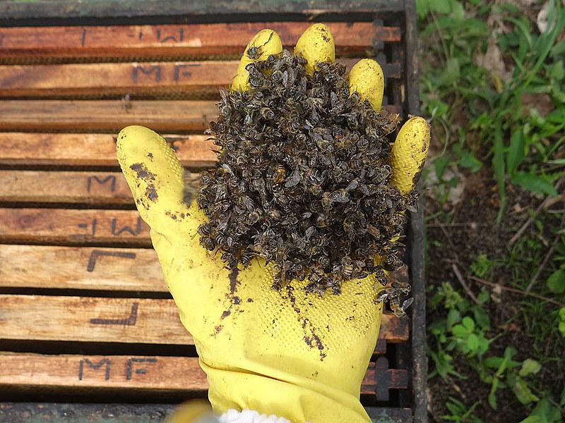 Abelhas mortas por contaminação de agrotóxicos