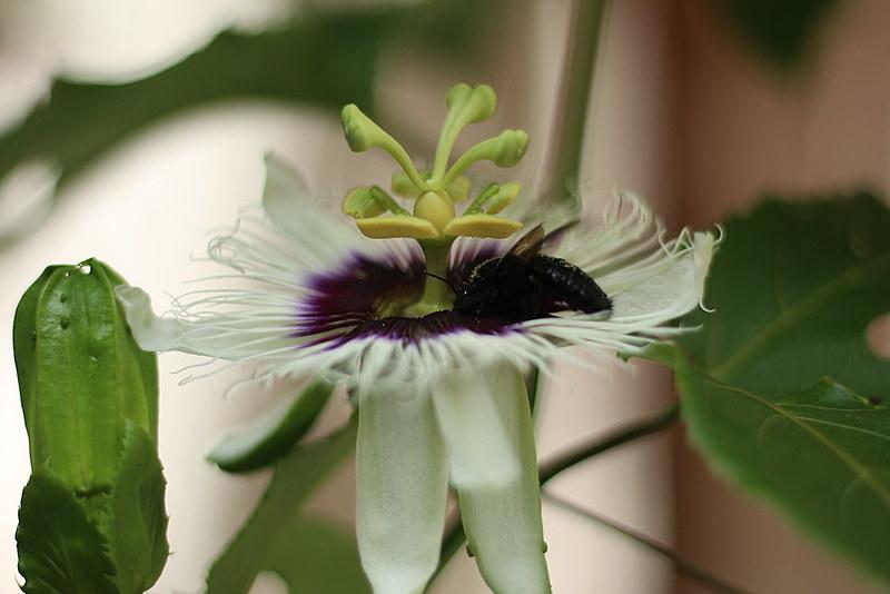 Flor do maracujá sendo visitada por uma espécie de abelhas solitária, conhecida popularmente como mamangava