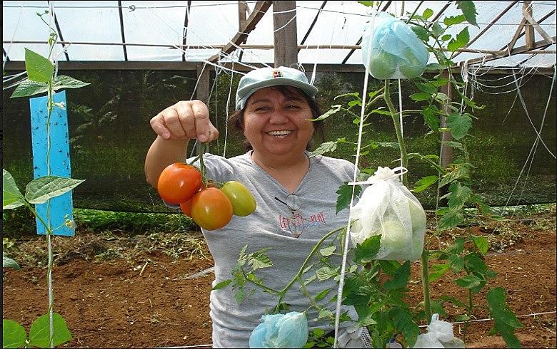 Produtores de Ibiúna e região estão aumentando a produção de tomates livres de venenos